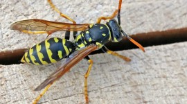 Polistes Gallicus Photo Free#1