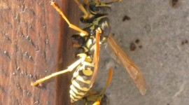 Polistes Gallicus Photo#1