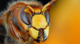 Polistes Gallicus Wallpaper 1080p