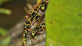 Polistes Gallicus Wallpaper