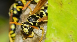 Polistes Gallicus Wallpaper For Desktop