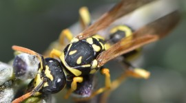 Polistes Gallicus Wallpaper Gallery