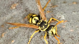 Polistes Gallicus Wallpaper HQ#3