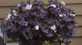 Purple Leaves Photo