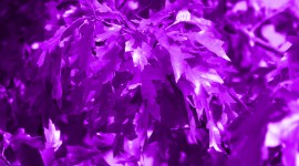 Purple Leaves Wallpaper Gallery