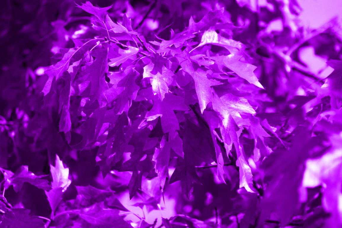 Purple Leaves Wallpape...