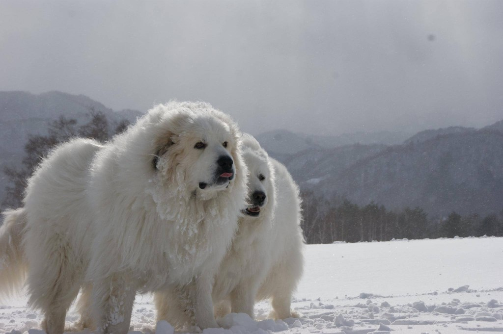 Pyrenean Mountain Dog wallpapers HD