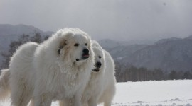 Pyrenean Mountain Dog Best Wallpaper