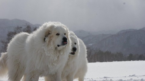 Pyrenean Mountain Dog wallpapers high quality