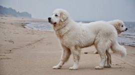 Pyrenean Mountain Dog Photo