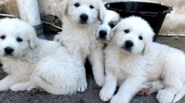 Pyrenean Mountain Dog Photo#1