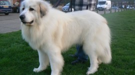 Pyrenean Mountain Dog Photo#2