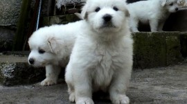 Pyrenean Mountain Dog Photo#3