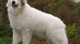 Pyrenean Mountain Dog Wallpaper