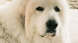 Pyrenean Mountain Dog Wallpaper Gallery