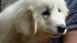 Pyrenean Mountain Dog Wallpaper HQ#1