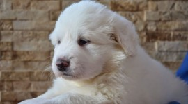 Pyrenean Mountain Dog Wallpaper HQ#2