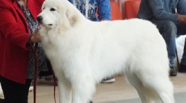Pyrenean Mountain Dog Wallpaper#2