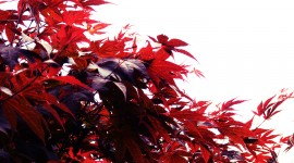 Red Leaves Desktop Wallpaper HD