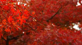 Red Leaves Photo Download
