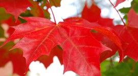 Red Leaves Photo Free#1