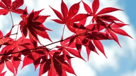 Red Leaves Wallpaper For PC