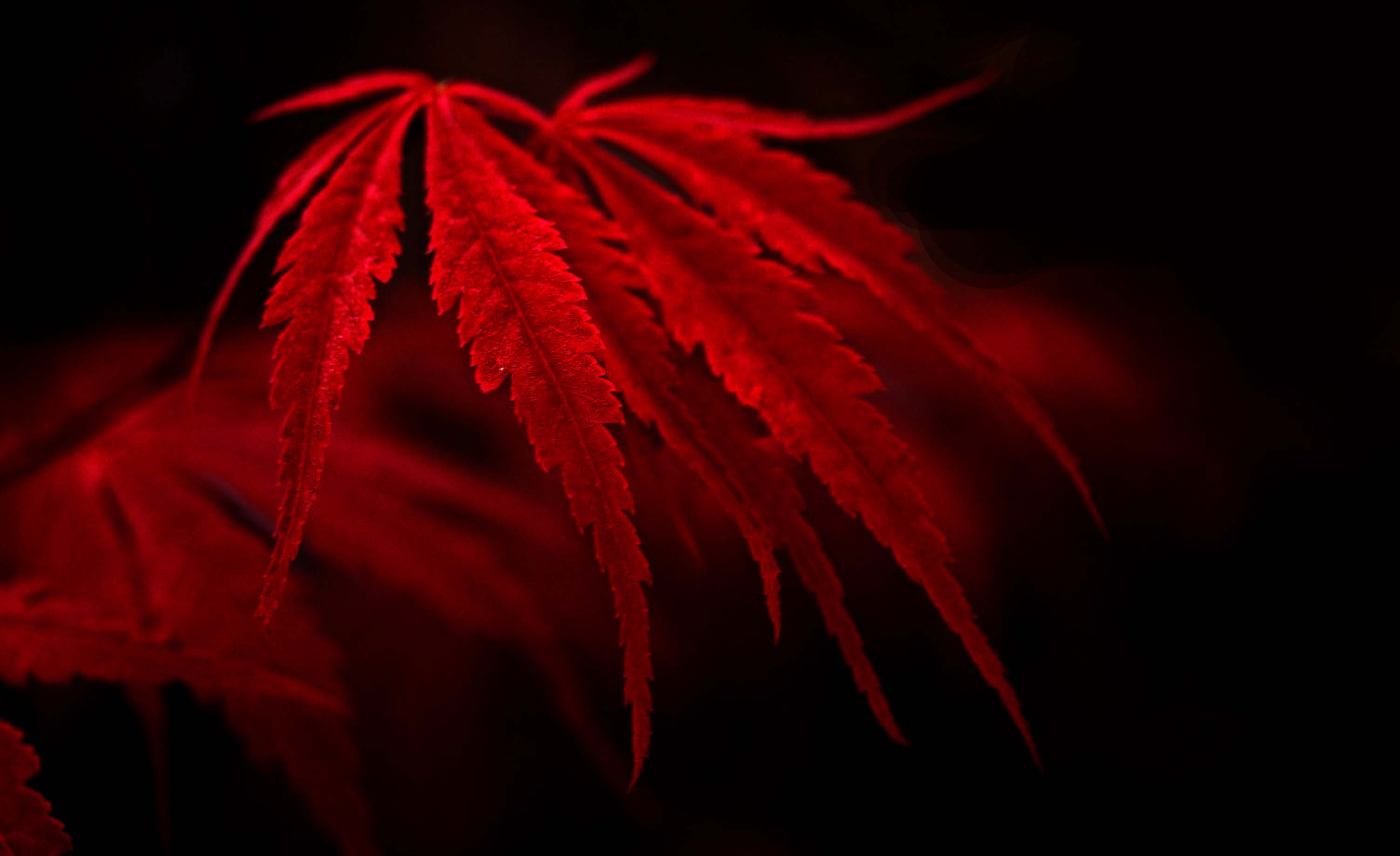 Red Leaves Wallpapers High Quality