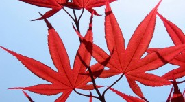 Red Leaves Wallpaper Gallery