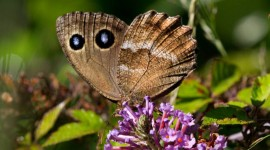 Satyrus Dryas Photo Download