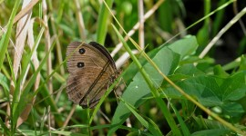 Satyrus Dryas Wallpaper Gallery