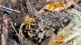 Scatophaga Stercoraria Pics