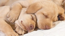Sleeping Puppies Photo Free#1