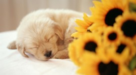 Sleeping Puppies Wallpaper 1080p