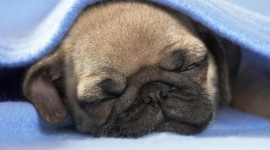 Sleeping Puppies Wallpaper For PC