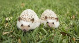Small Hedgehogs Best Wallpaper
