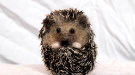 Small Hedgehogs Desktop Wallpaper