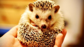 Small Hedgehogs Photo