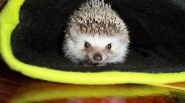 Small Hedgehogs Photo Download