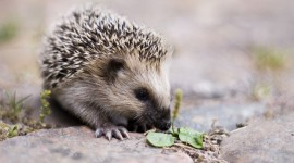 Small Hedgehogs Photo Free#1
