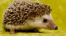 Small Hedgehogs Photo#2