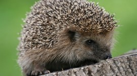 Small Hedgehogs Photo#3