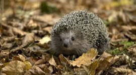 Small Hedgehogs Wallpaper