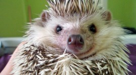 Small Hedgehogs Wallpaper Download
