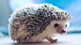 Small Hedgehogs Wallpaper For Desktop