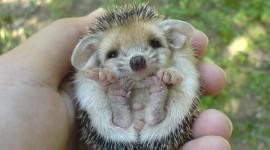 Small Hedgehogs Wallpaper Full HDSmall Hedgehogs Wallpaper Full HD