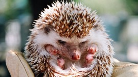 Small Hedgehogs Wallpaper Gallery