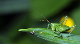 Tettigonia Viridissim Photo Download