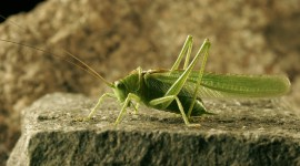Tettigonia Viridissim Photo Free#2