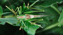 Tettigonia Viridissim Photo#1