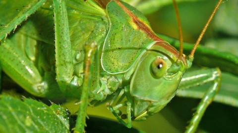 Tettigonia Viridissim wallpapers high quality